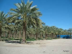 date-palms3