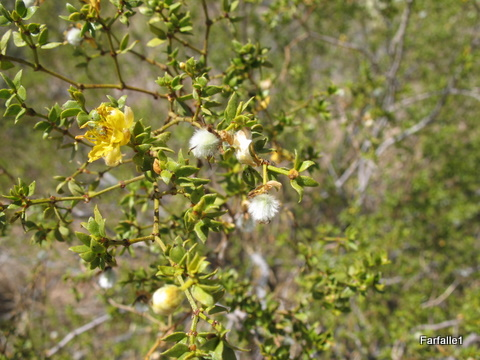 creosote-flower-and-seed