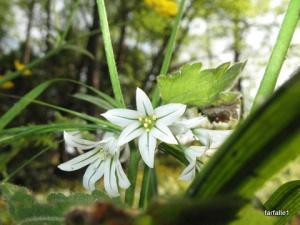 wild-onion-flower