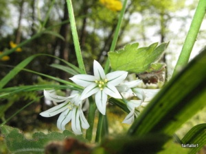 Both wild onion and wild garlic are distributed throughout the