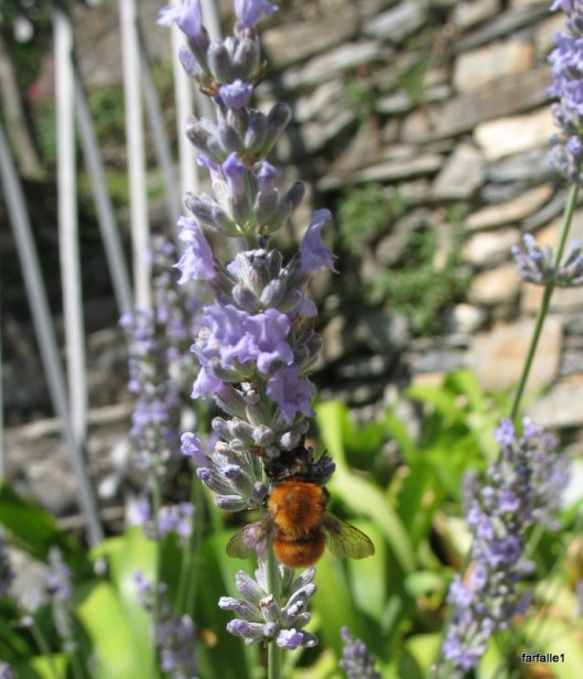 bees on lavender 002