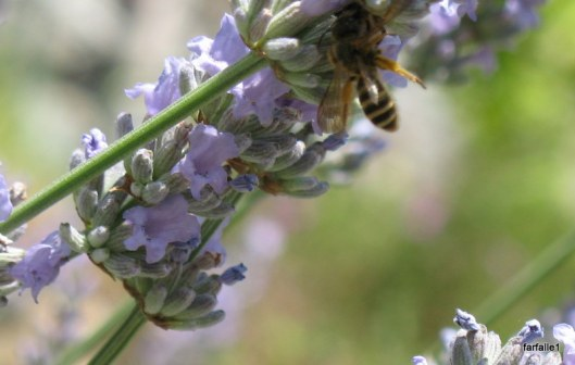 bees on lavender 015