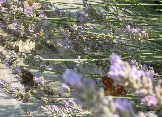 butterflies on lavender-4