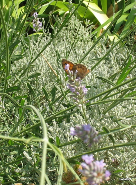butterfly on lavender-2