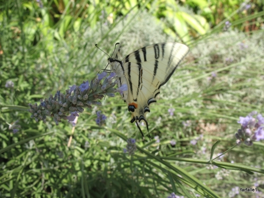 swallowtail butterfly (5)a