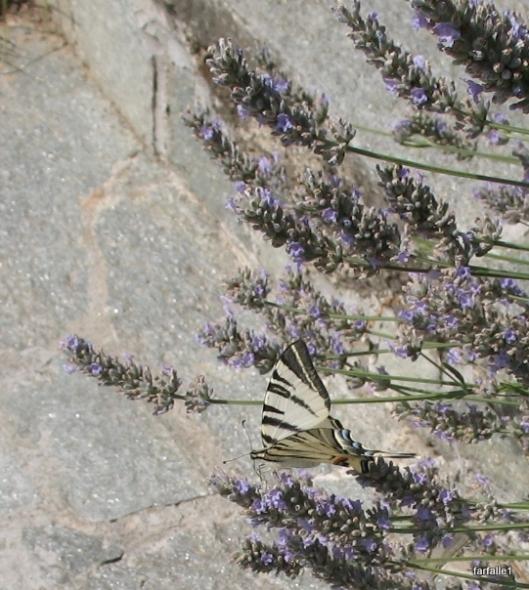 swallowtail butterflya