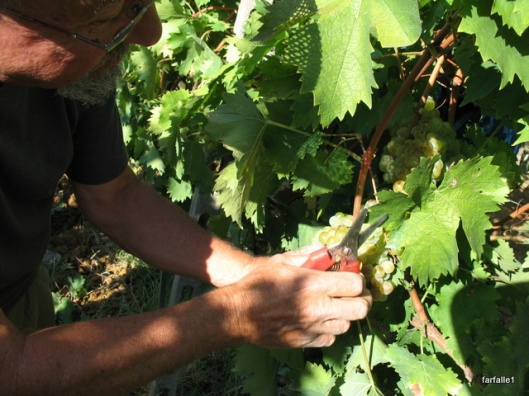 cutting grapes