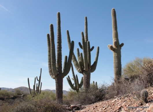 Reavis cheerful band of saguaro