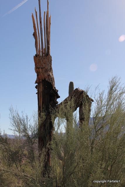 Reavis dead saguaro-001