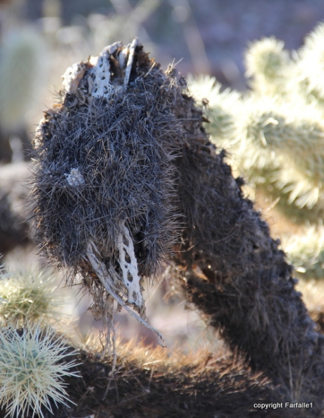 I'm not really a cholla, I'm a _______________________