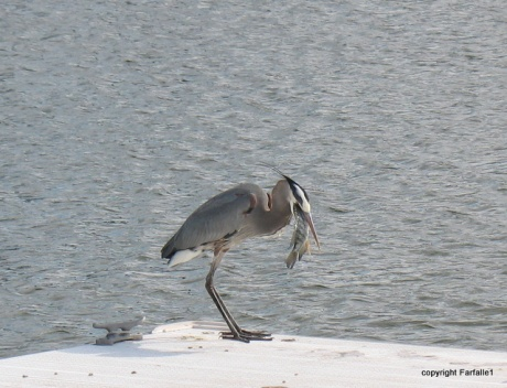 great blue heron eating a fish-011
