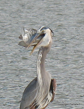 great blue heron eating a fish-017