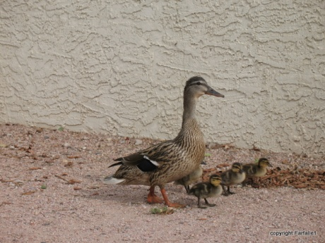 ducklings-10