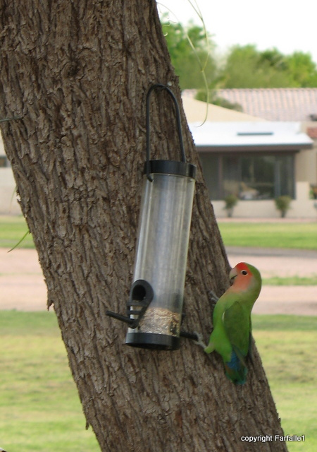 lovebirds on feeder-008