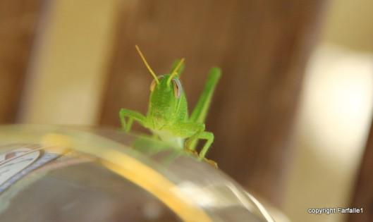 grasshopper-004