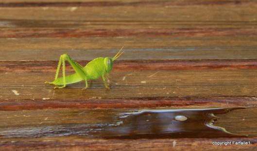 grasshopper-011