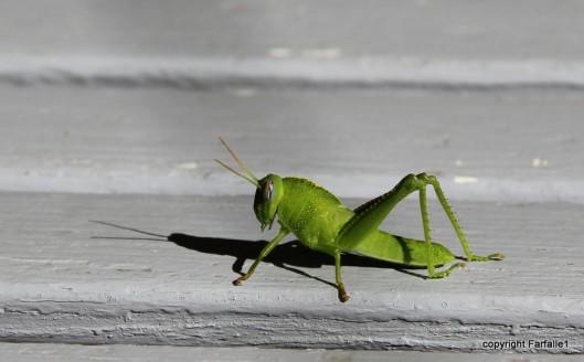 grasshopper-027