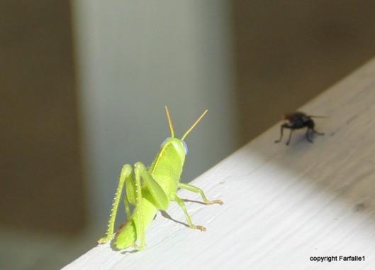 grasshopper-030