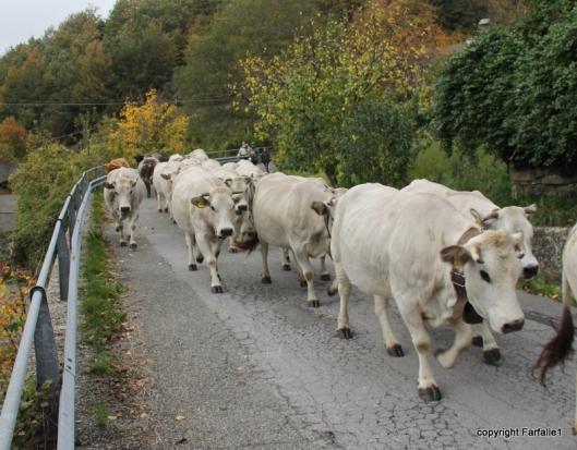 cows-001