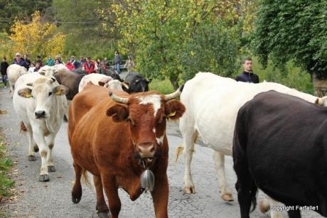 cows-003