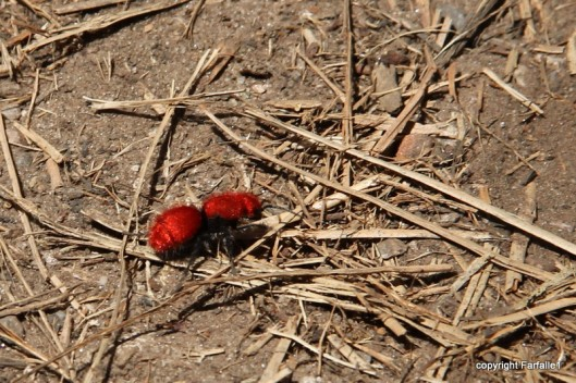 hike with Elly, Fritz, Jim Oak Canyon red velvet ant-002