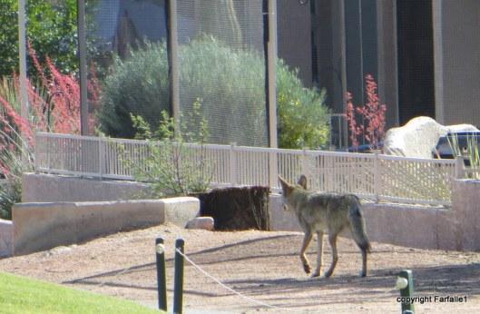 coyote-001