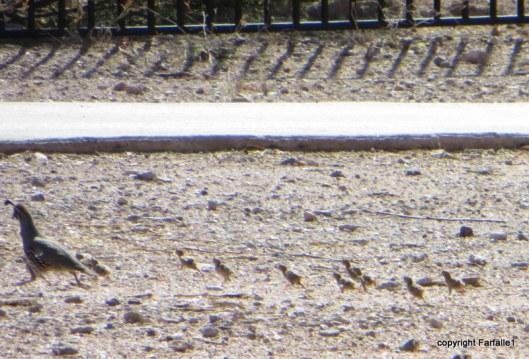 freshly tatched quail