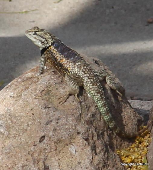mountain spiney lizard-002