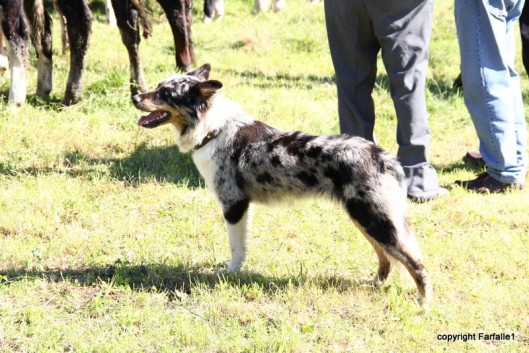 brindle cow dog-001