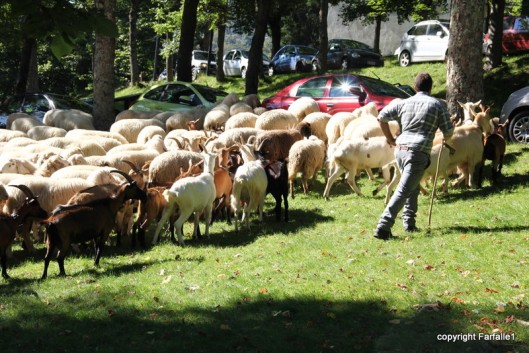 corraling the sheep and goats