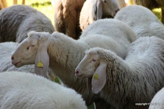 sheep egyptian profile