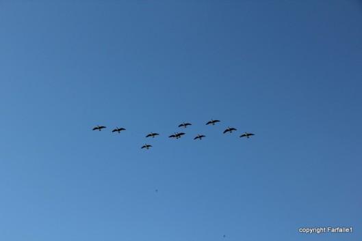 Geese overhead in Utah