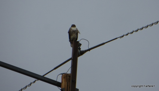 hawk on a wire