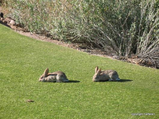 Rabbits at Painted Mountain