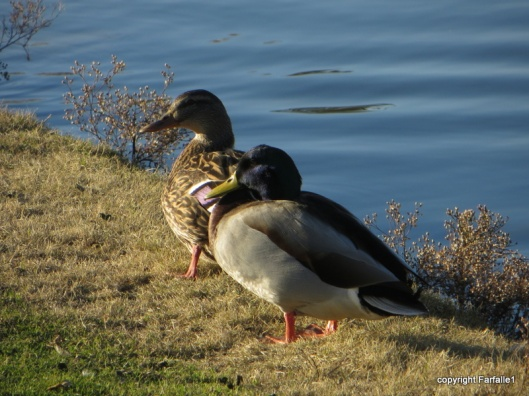 True love, mallard style, Mountain Brook