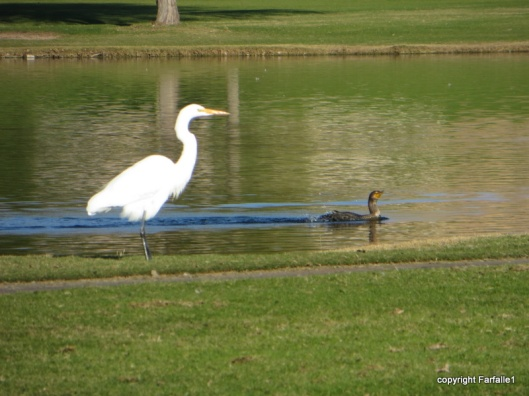 white egret and duck