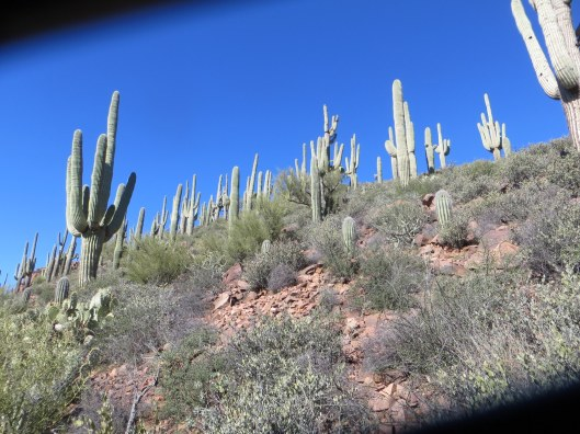 Vinyard trail with Elly saguaro forest from path