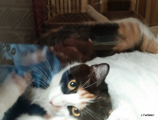shelter-kitty-calico